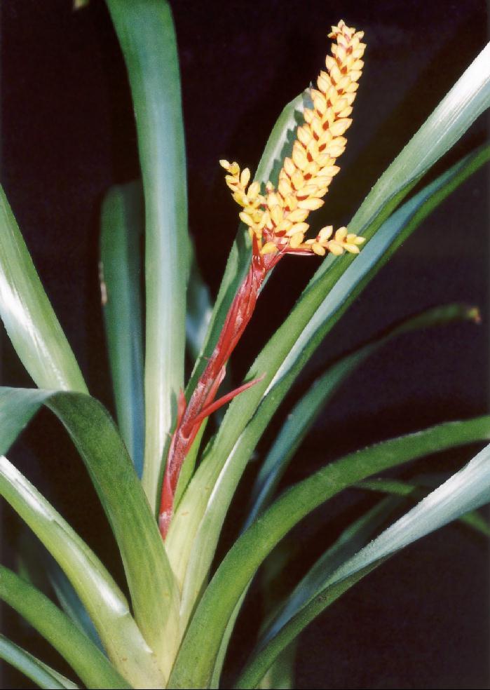 bromeliads in australia