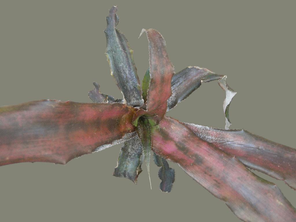 Cryptanthus Black Magic From Fcbs Quot See Black Magic