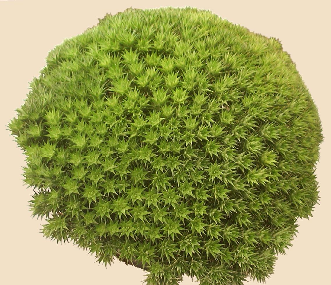 Deuterocohnia Brevifolia Care Deuterocohnia Brevifolia Ssp