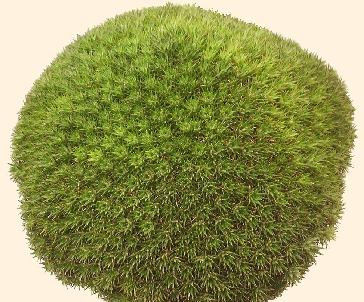 Deuterocohnia Brevifolia Ssp Chlorantha Brevifolia Ssp Chlorantha