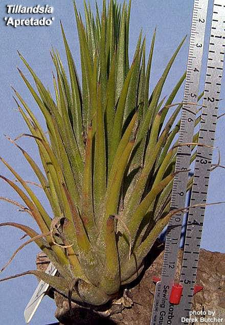 Bromeliads In Australia Tillandsia Apretado