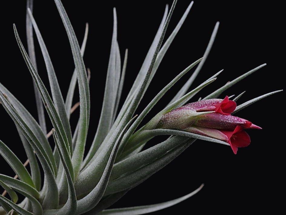 Bromeliads in australia tillandsia albertiana x roseiflora Tillandsia hybrids
