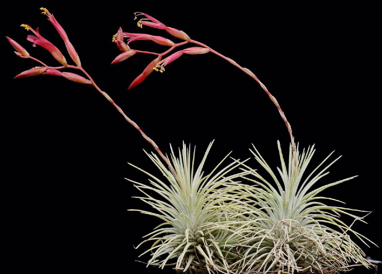 Bromeliads in australia tillandsia argentea for Tillandsia pianta