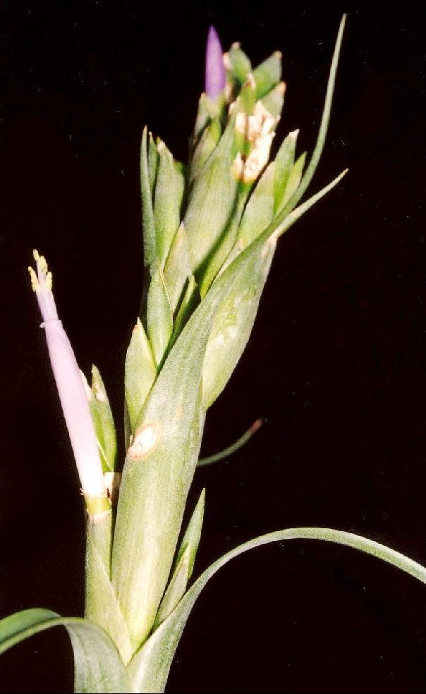 08 >> Bromeliads in Australia - Tillandsia belloensis