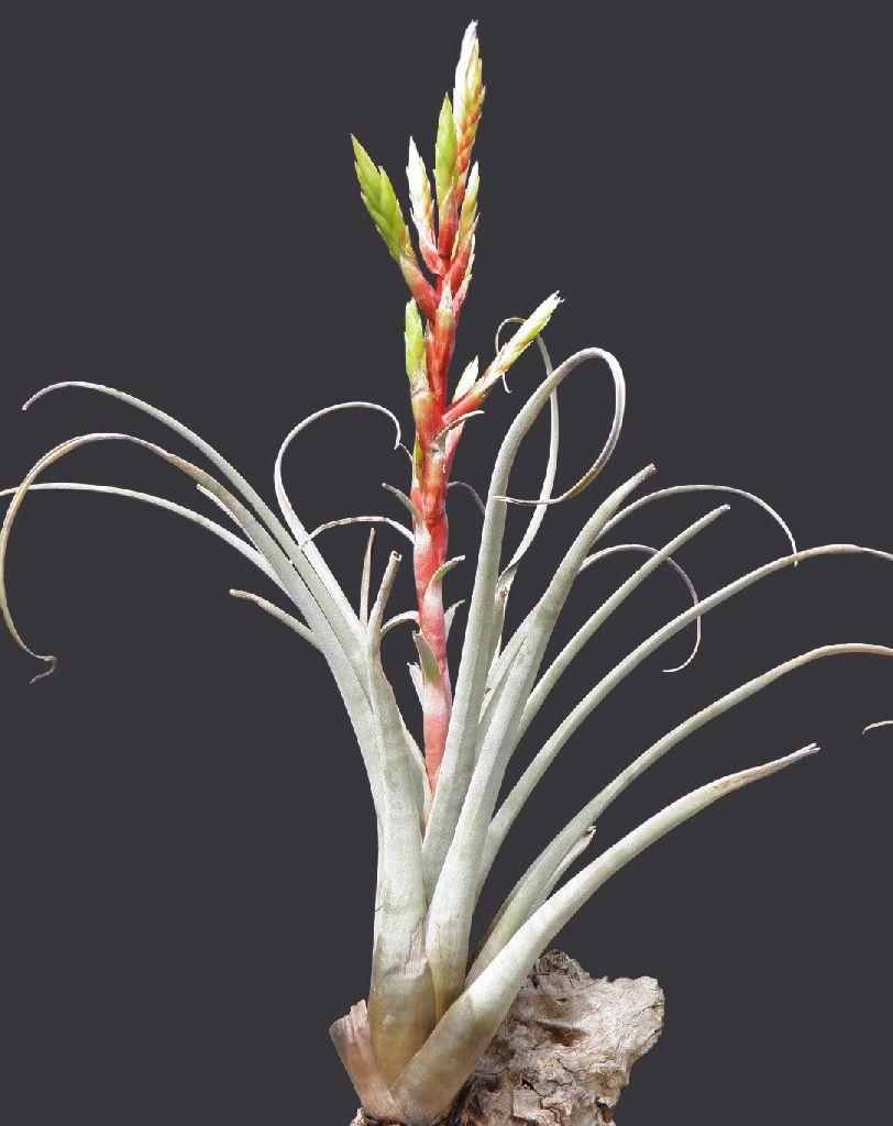 Bromeliads In Australia Tillandsia Callichroma