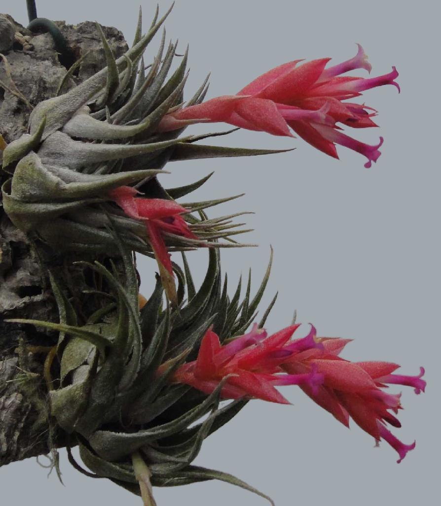 Bromeliads In Australia Tillandsia Kautskyi