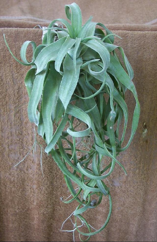 Bromeliads In Australia Tillandsia Streptophylla