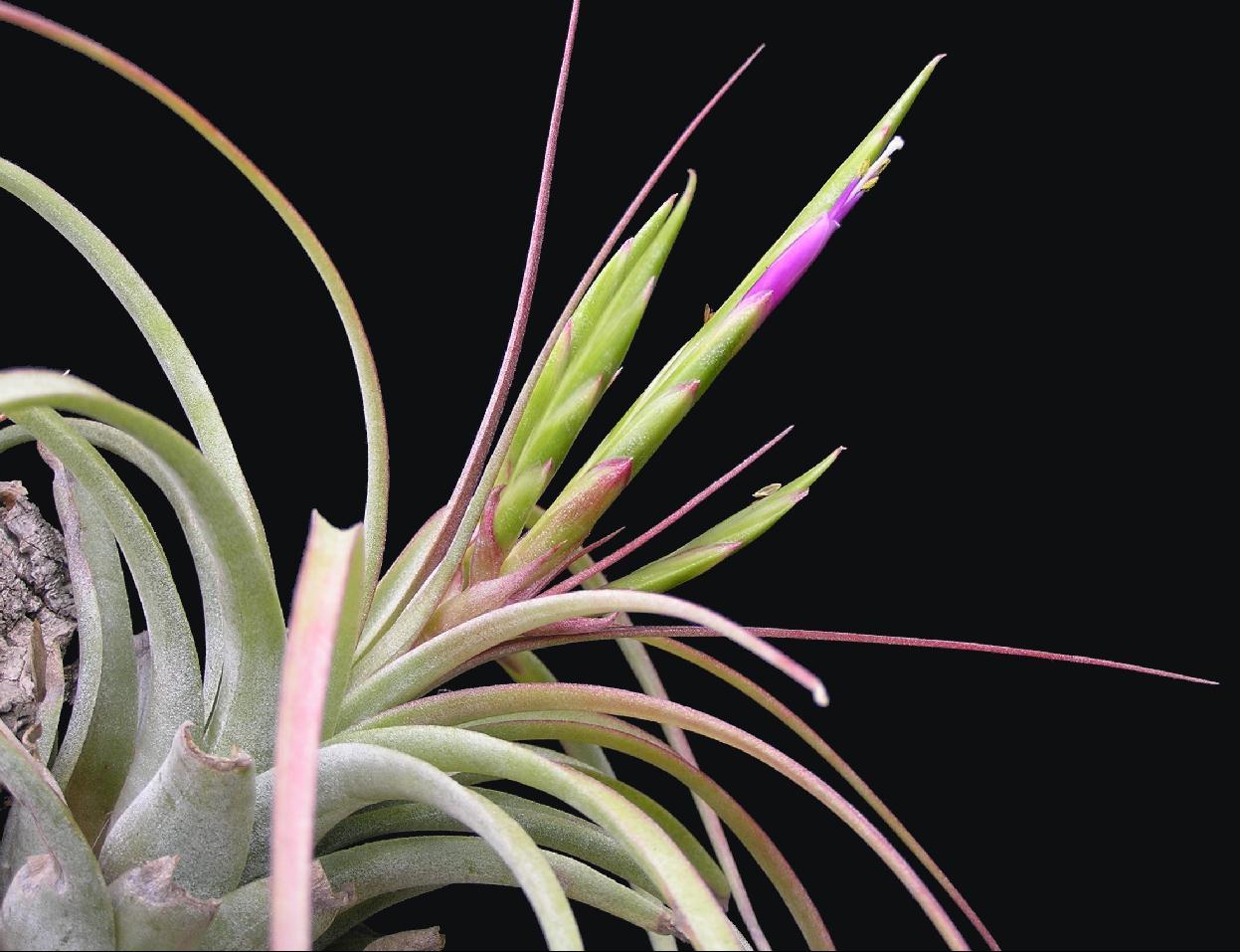 Bromeliads in australia xerographica hybrid Tillandsia hybrids