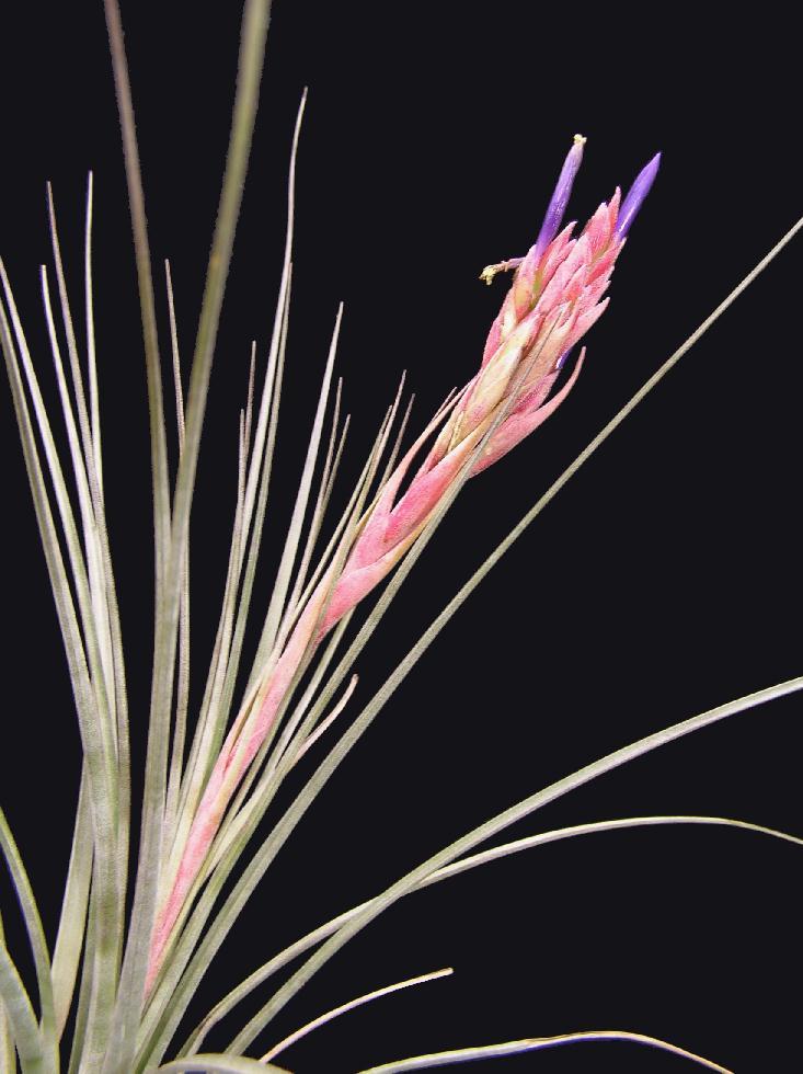 Bromeliads in australia tillandsia xfloridana Tillandsia hybrids