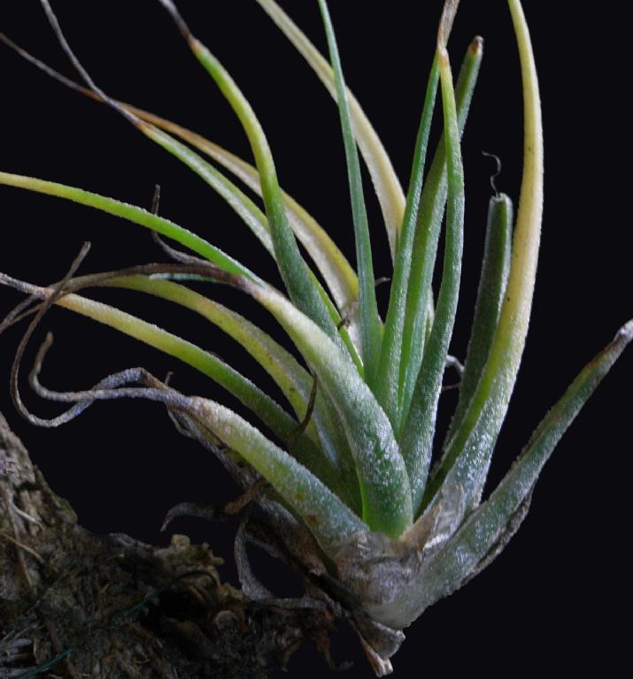 Bromeliads in australia tillandsia xkolbii Tillandsia hybrids